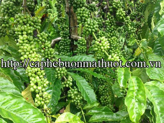 Ngành cà phê: Khó đạt mục tiêu xuất khẩu